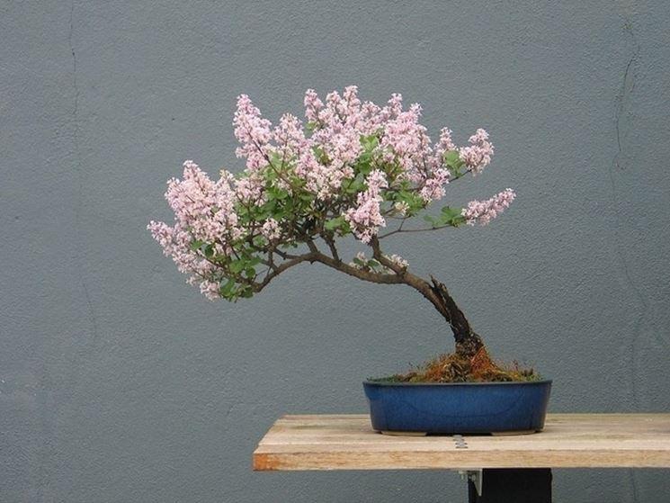 Se si desidera un bonsai inclinato a sinistra, tagliare i rametti sul lato destro