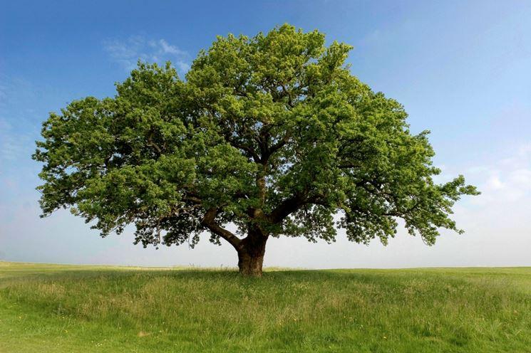Un maestoso albero di quercia