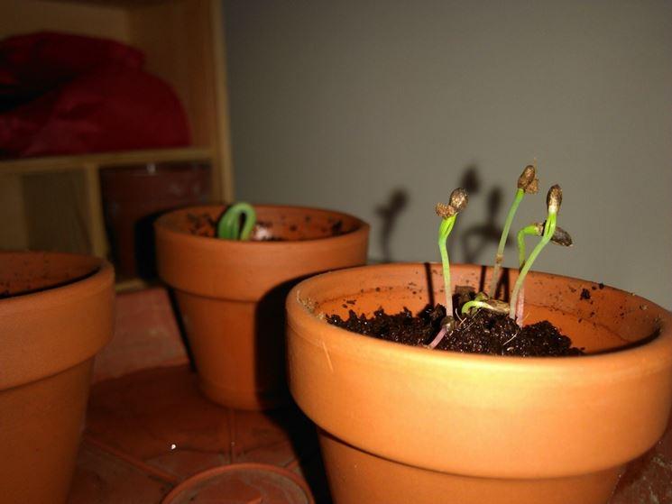 Il germoglio dei bonsai
