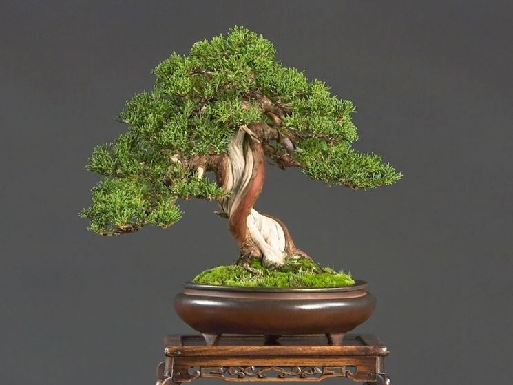 Il bonsai adulto