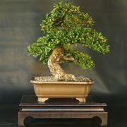 Ulivo bonsai attrezzi e vasi per bonsai for Vasi per bonsai prezzi
