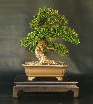 Un bell'esemplare di Cotoneaster Bonsai