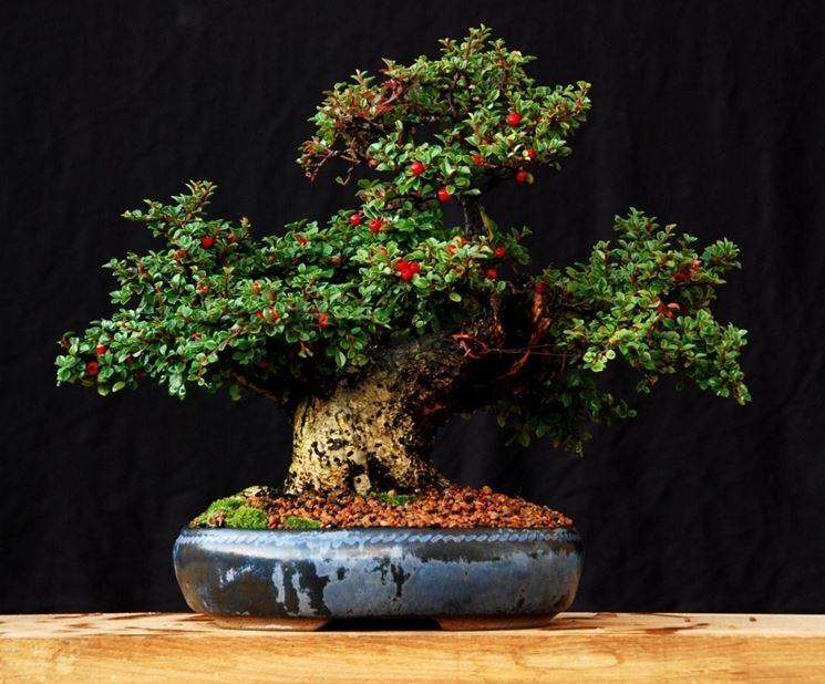 Cotoneaster Bonsai con bacche rosse