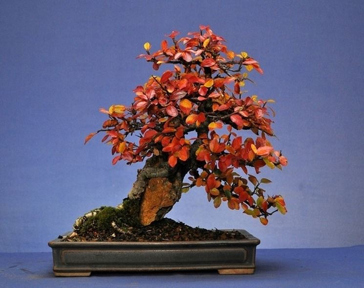 Cotoneaster Bonsai in autunno