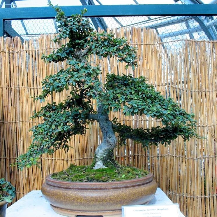 Splendido Cotoneaster Bonsai