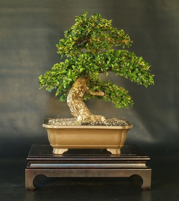 Cotoneaster bonsai attrezzi e vasi per bonsai for Bonsai vasi