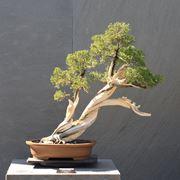 Un esemplare di Ginepro bonsai