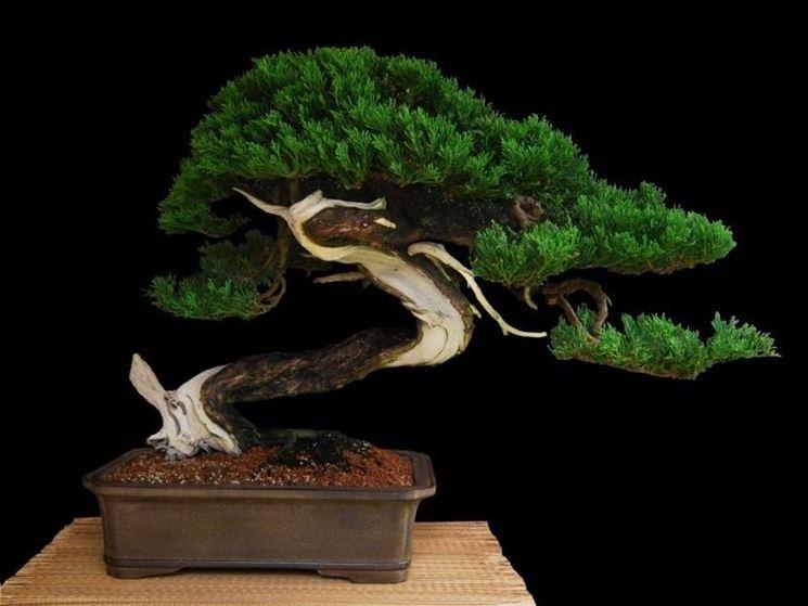 bonsai ginepro in vaso