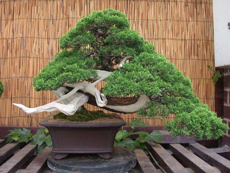 Forma e vaso di un bonsai ginepro