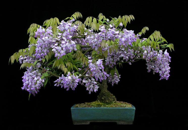 Esemplare di Wisteria sinensis in fiore
