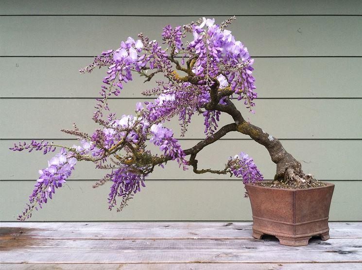 Esemplare di Wisteria floribunda in fiore
