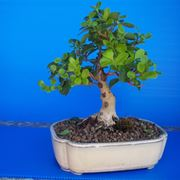 Bonsai di ligustrum