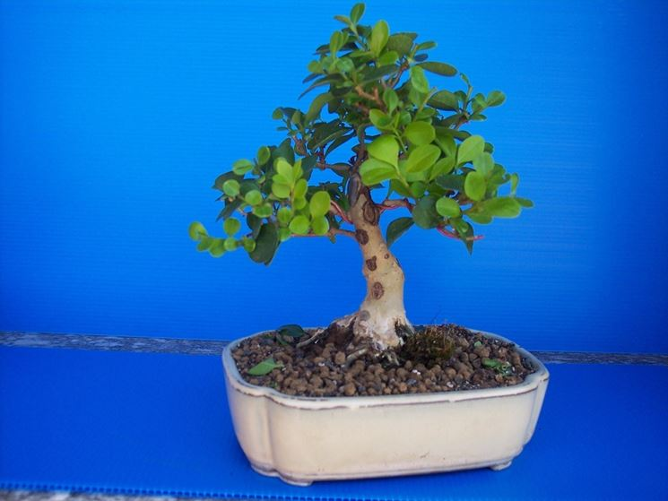 Ligustrum bonsai attrezzi e vasi per bonsai ligustrum for Piante per bonsai
