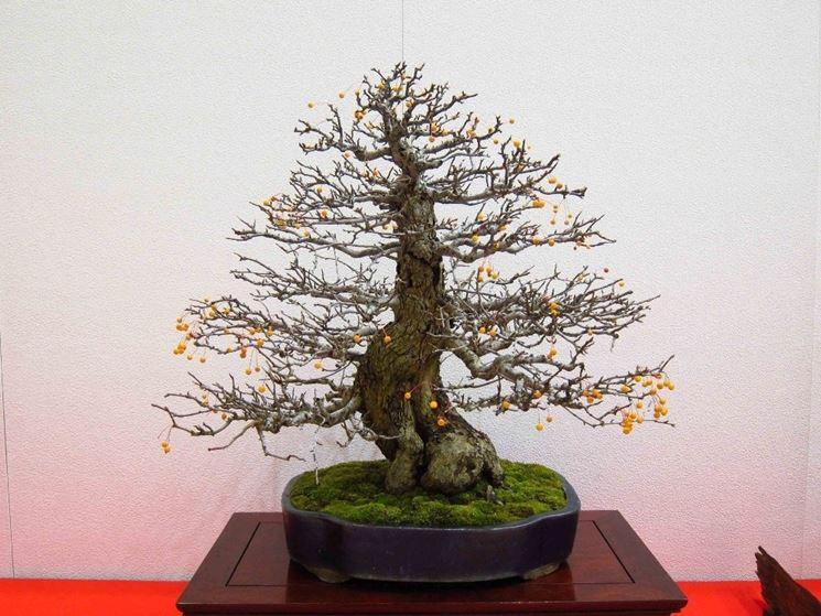 Melo bonsai in fiore