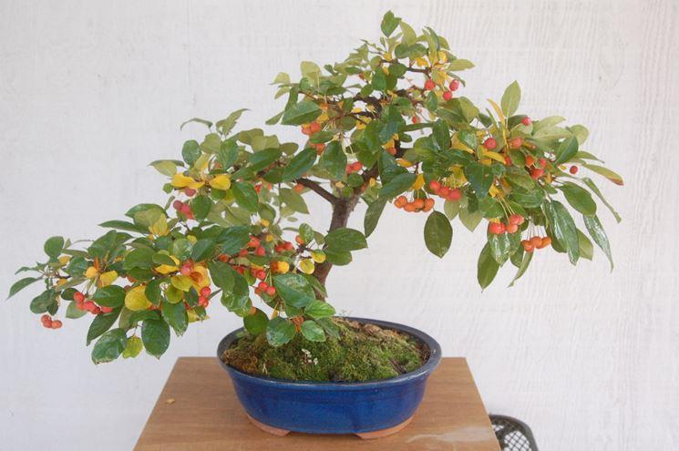 Frutti del Melo bonsai
