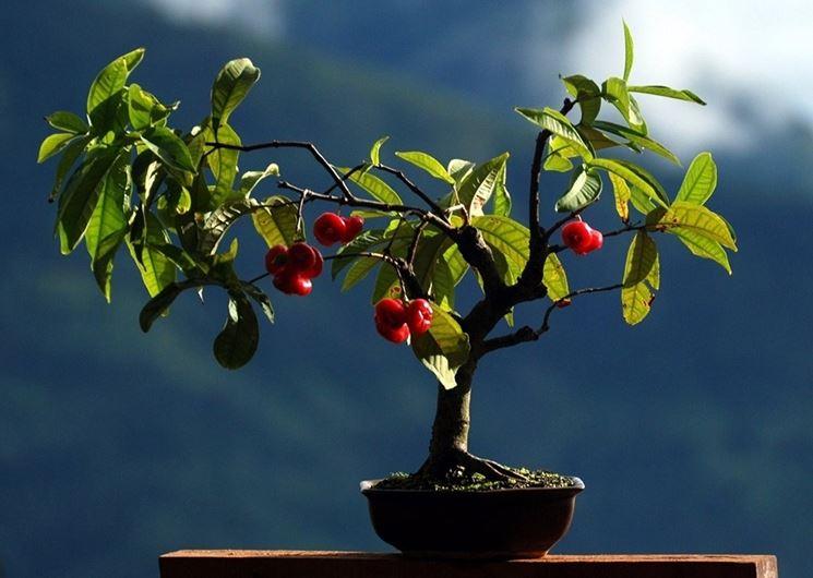 Piccolo esemplare di Melo bonsai