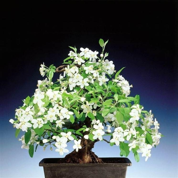 Fioritura del Melo bonsai
