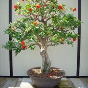 Melograno Bonsai fiorito