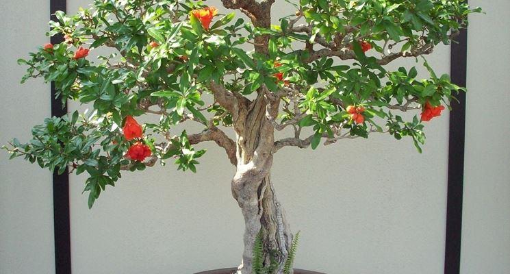 melograno, bonsai, alberi