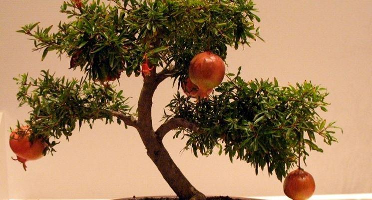 Un altro bell'esemplare di Melograno Bonsai