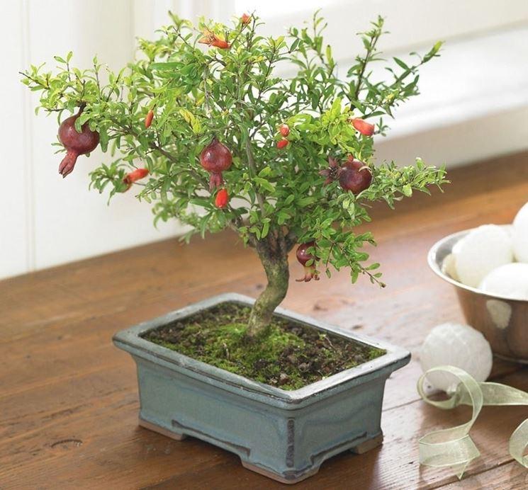 Melograno Bonsai con fiori e frutti piccoli