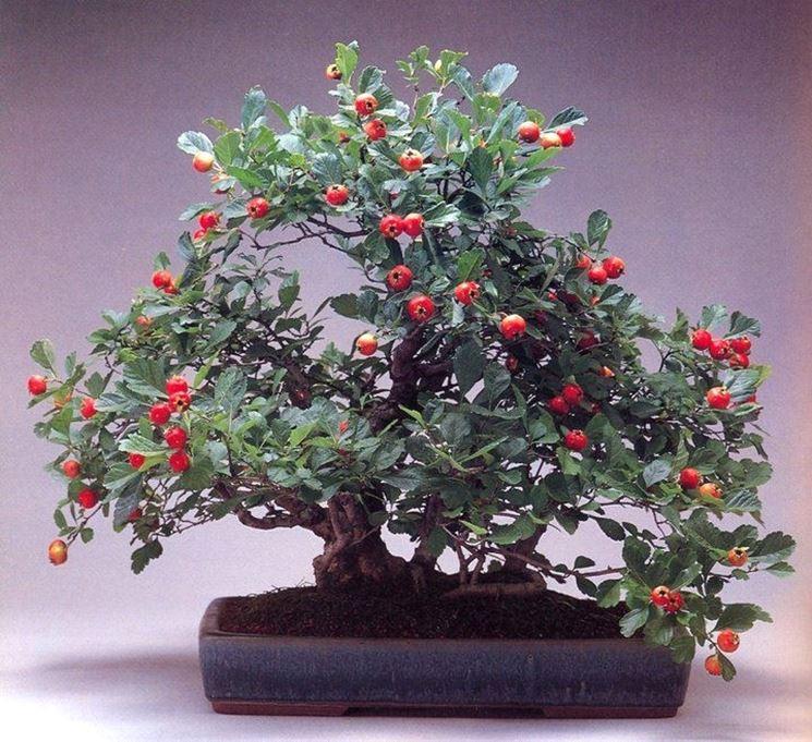 Un bellissimo esemplare di bonsai