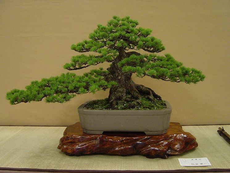 Pagine verdi bonsai attrezzi e vasi per bonsai vendita for Vendita on line bonsai
