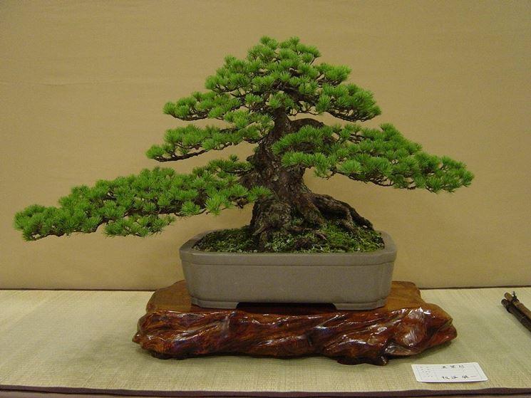 Un esemplare di bonsai di acero rosso