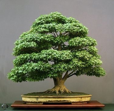 Quercia bonsai