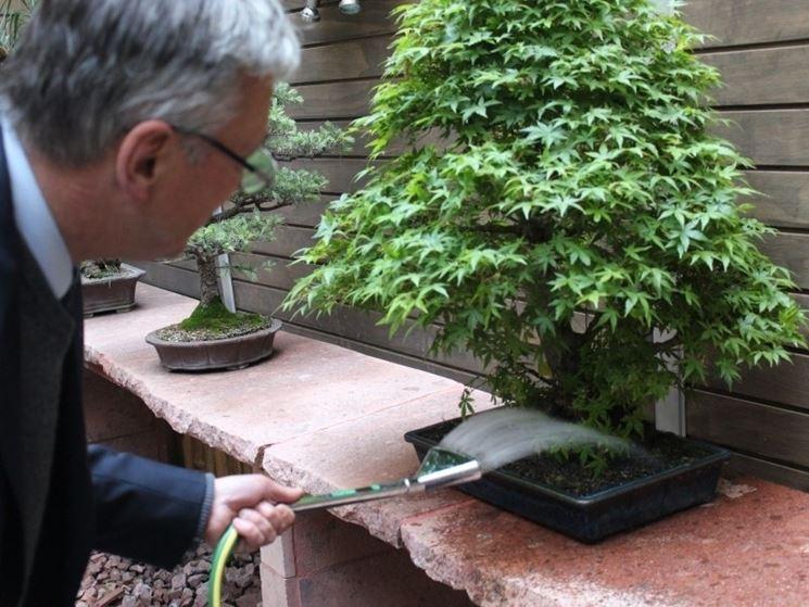 Innaffiatura di una pianta bonsai