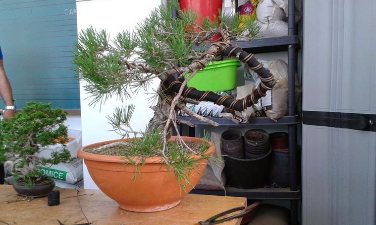 Pianta bonsai attrezzi e vasi per bonsai for Bonsai vasi