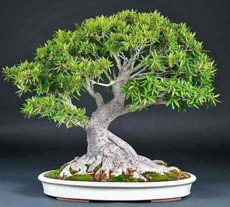 Piante bonsai attrezzi e vasi per bonsai come for Piante per bonsai