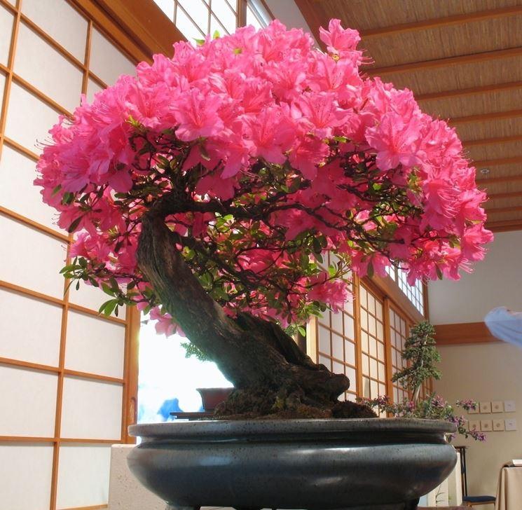 azalea bonsai in fiore