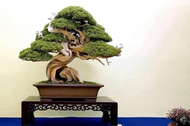 bonsai ginepro conifera