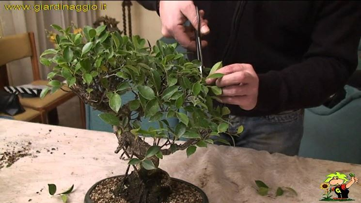 Intervento di potatura su un ficus bonsai