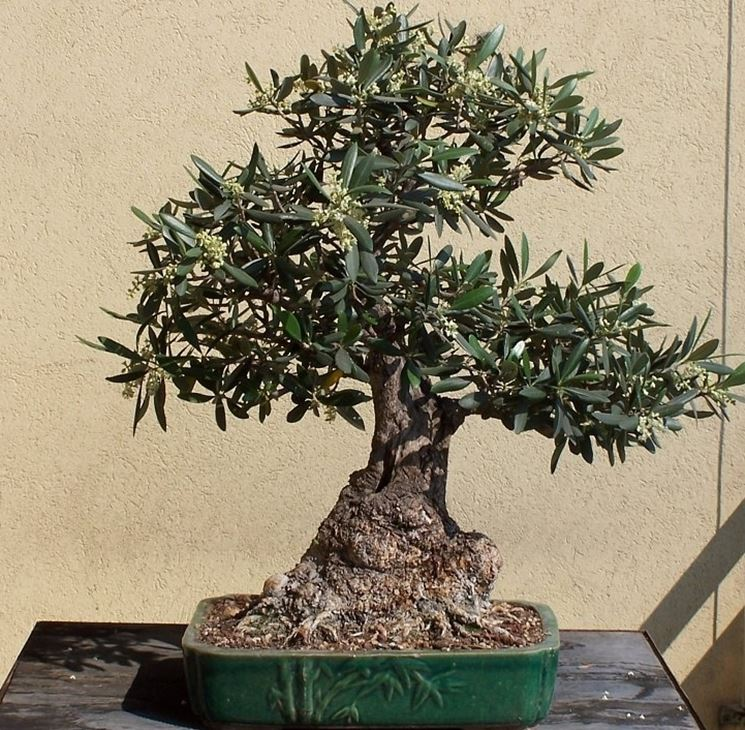 Potare ficus bonsai attrezzi e vasi per bonsai for Piante per bonsai