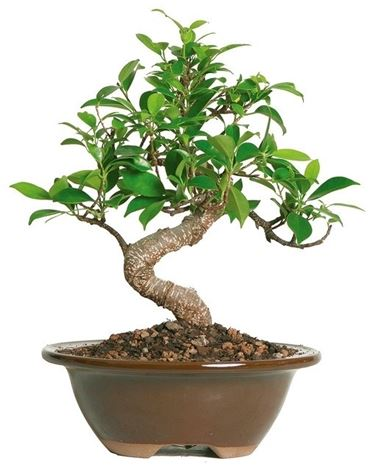 Ficus bonsai, per cominciare