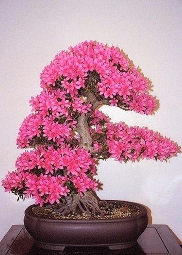 Azale bonsai fiorita