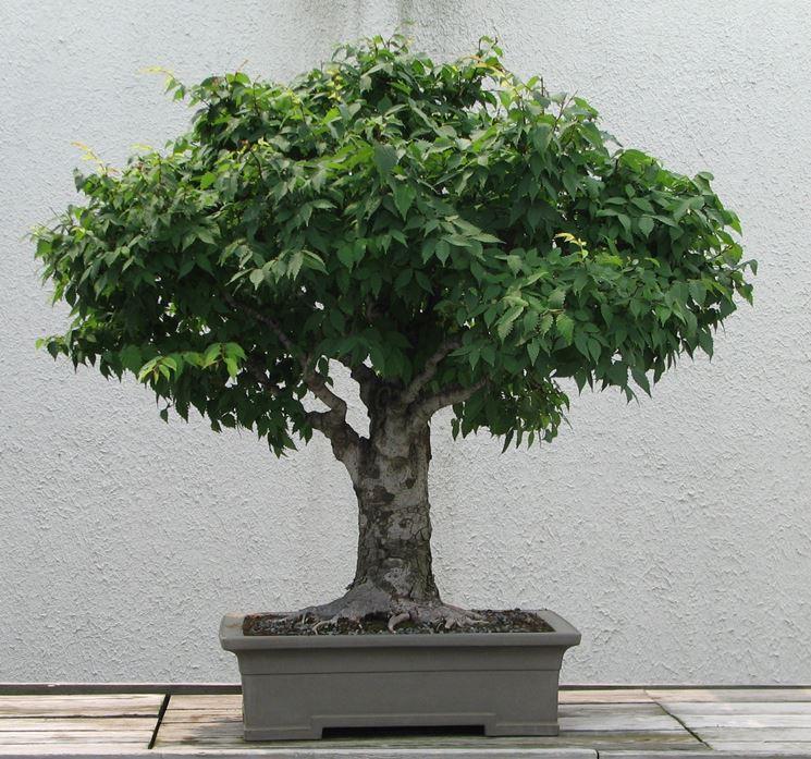 Olmo giapponese bonsai