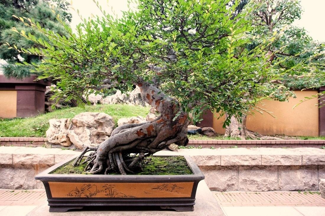 Mobili lavelli bonsai prezzi for Acquisto piante olivo