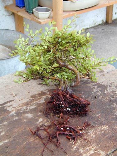 Il rinvaso di un bonsai