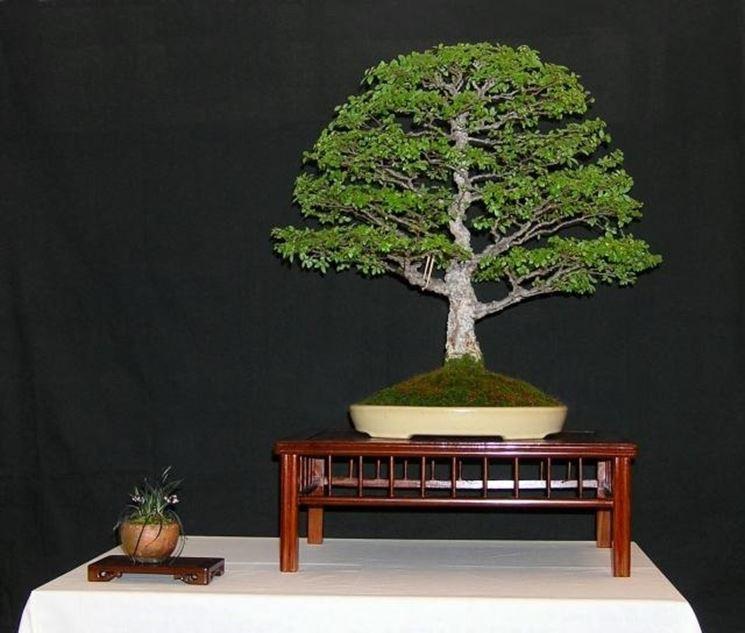 Prezzo bonsai attrezzi e vasi per bonsai il prezzo del for Vasi per bonsai grandi