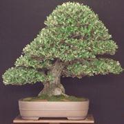 Varietà di bonsai Quercus ilex