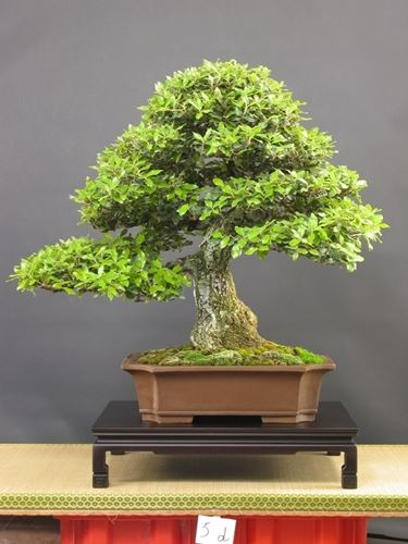 Variet� di bonsai Quercus agrifolia