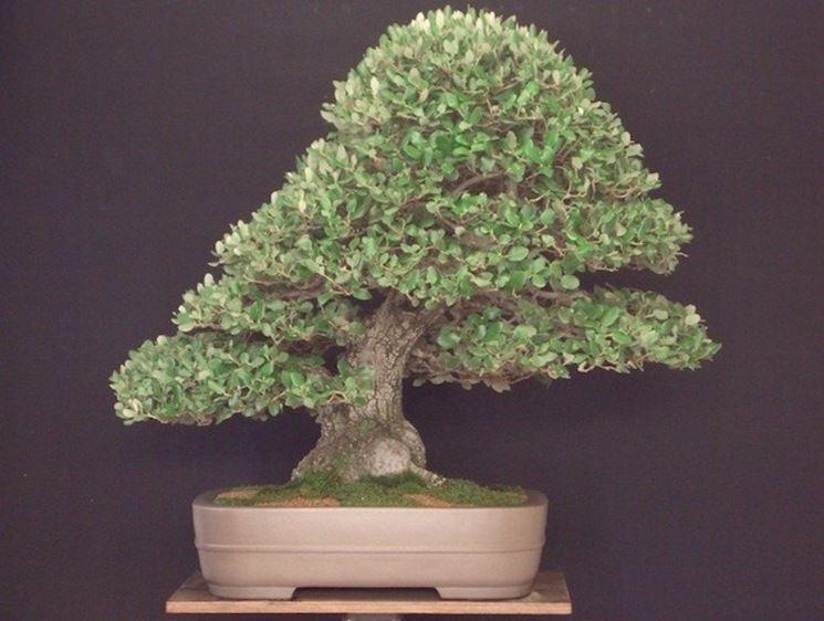 Variet� di bonsai Quercus ilex