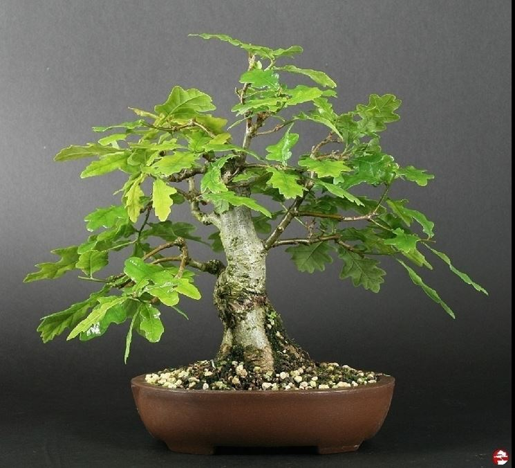 Quercia bonsai attrezzi e vasi per bonsai quercia for Bonsai vasi