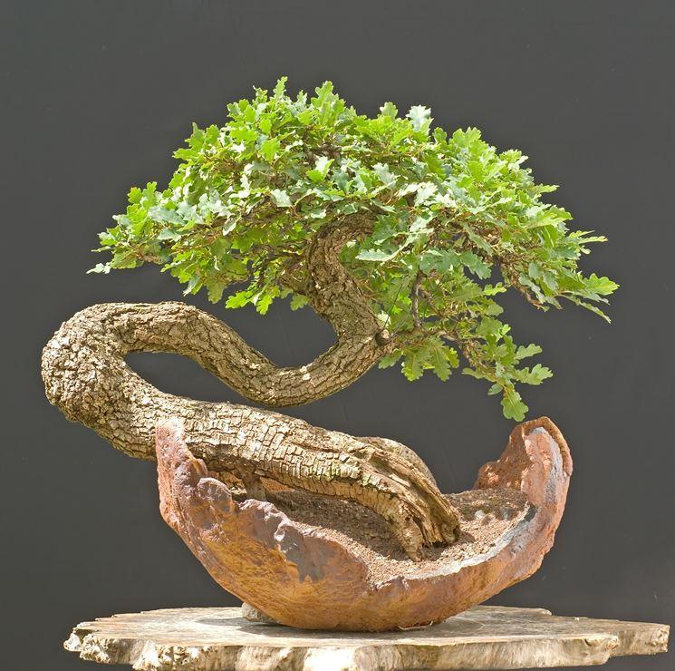 Variet� di bonsai Quercus cerris