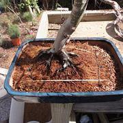 Questo bonsai ha bisogno di un rinvaso