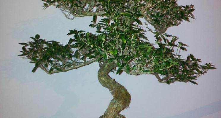 Un esemplare di Serissa Bonsai