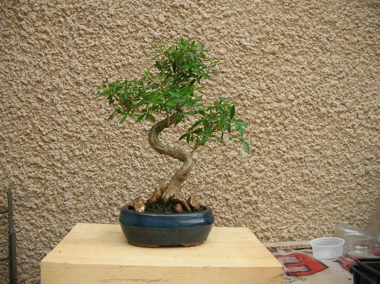 Un bonsai di Serissa